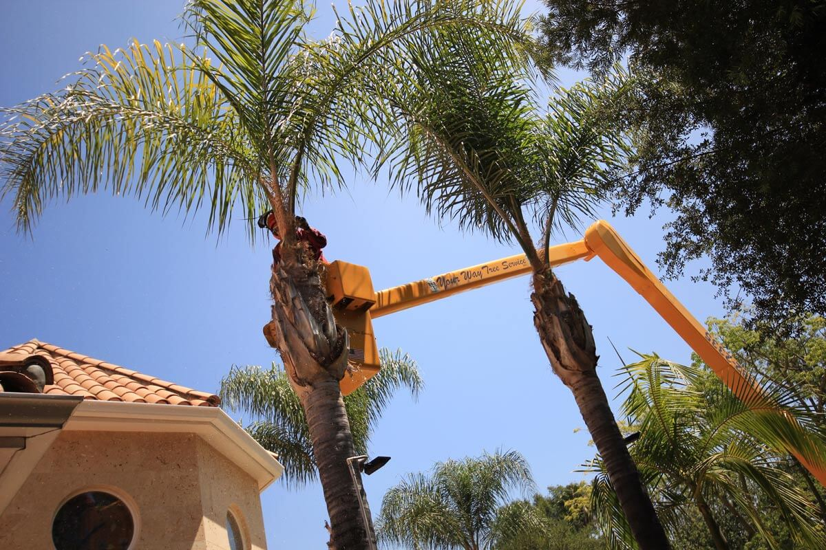 Palm Tree Trimming-La Mesa CA Tree Trimming and Stump Grinding Services-We Offer Tree Trimming Services, Tree Removal, Tree Pruning, Tree Cutting, Residential and Commercial Tree Trimming Services, Storm Damage, Emergency Tree Removal, Land Clearing, Tree Companies, Tree Care Service, Stump Grinding, and we're the Best Tree Trimming Company Near You Guaranteed!
